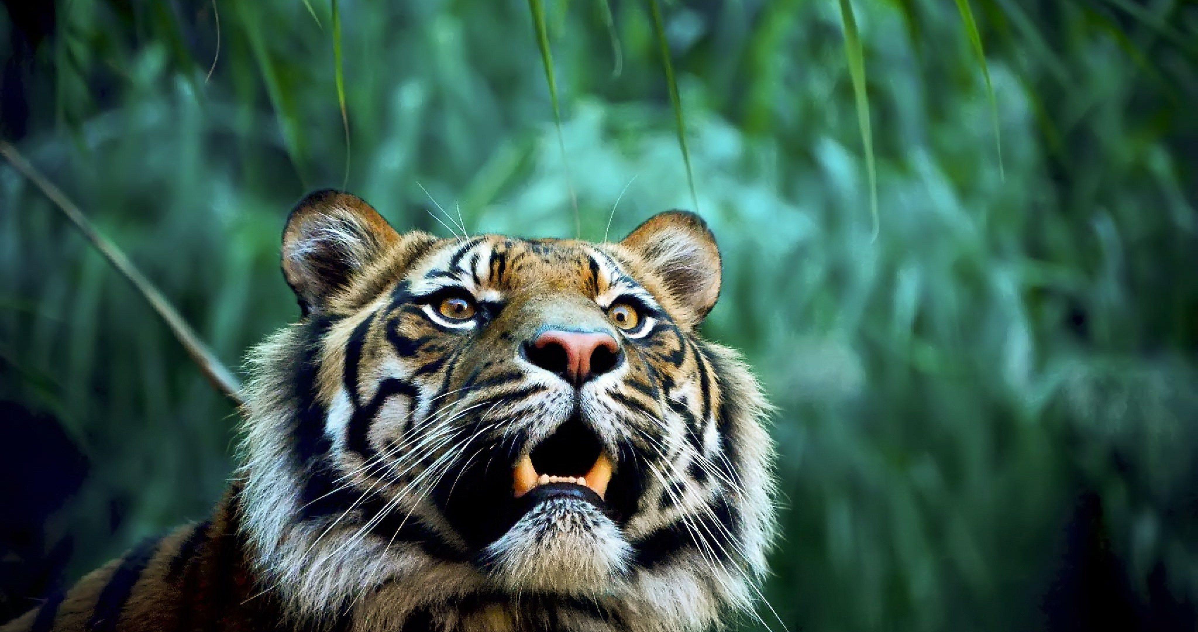 Tiger in jungle 4k ultra hd wallpaper ololoshenka - Ultra hd animal wallpapers ...