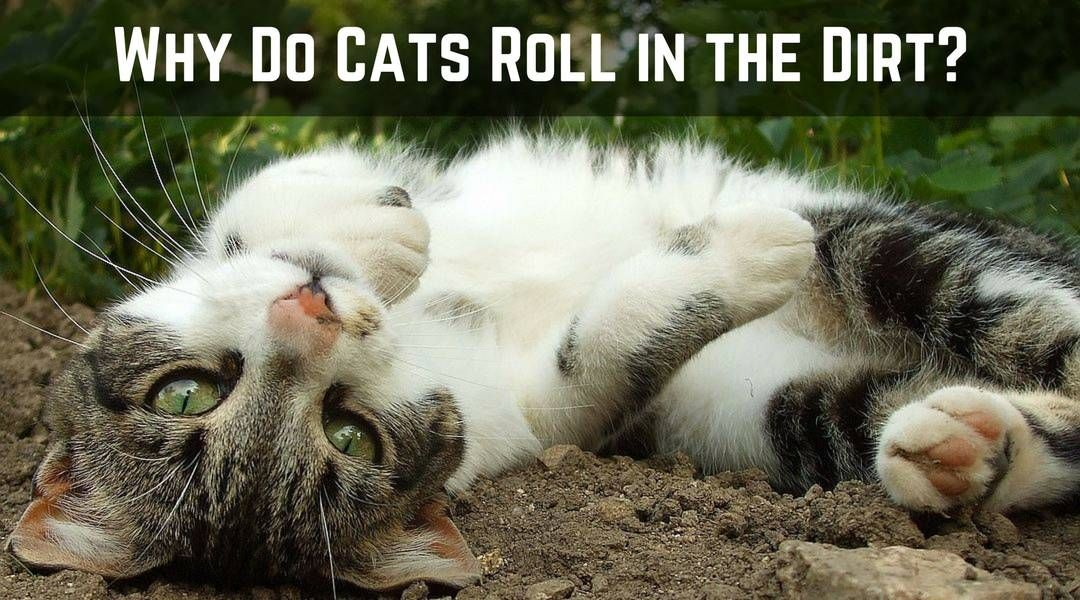 Why Do Cats Roll in the Dirt Cat roll, Cool cat trees, Cats