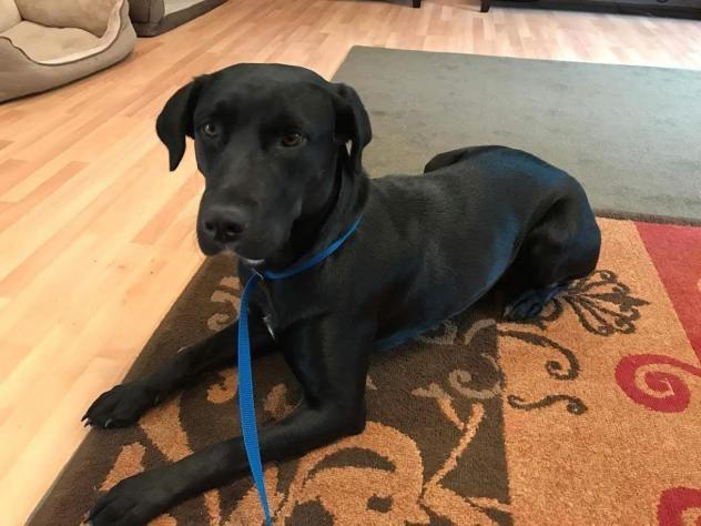 Adopt Amelia On Labrador Retriever Dog Retriever Dog Labrador Retriever