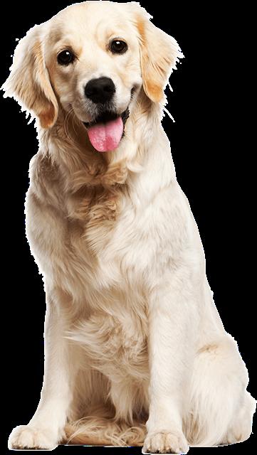 Golden Retriever Images Puppy Dog Golden Retriever Golden Retriever Wallpaper White Retriever