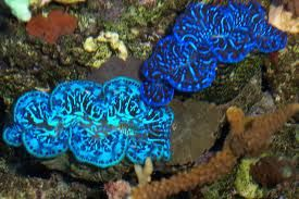 I really want a maxima clam one day. Have to get better lights first.