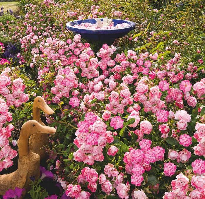 Flower carpet pink splash groundcover rose beautiful flowers flower carpet pink splash groundcover rose mightylinksfo