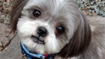 shih tzu puppy hair styles adorable shih tzu hair styles scooter hair cuts 9446