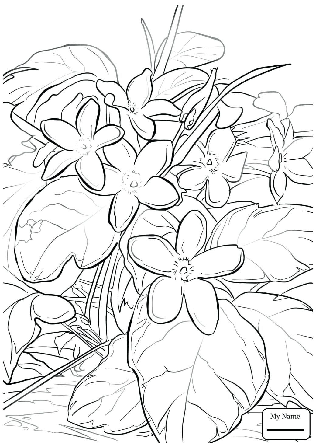 Mayflower Coloring Sheet Or Trailing Arbutus Flowers Pages