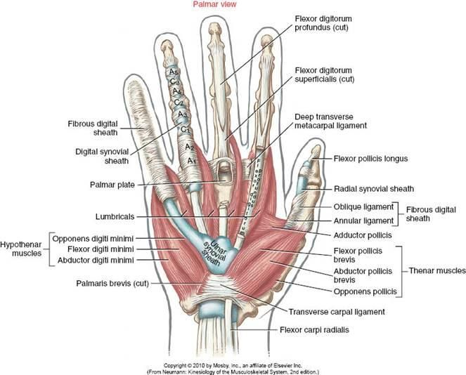 Palmar view of hand anatomy including tendons and pulleys | OT ...