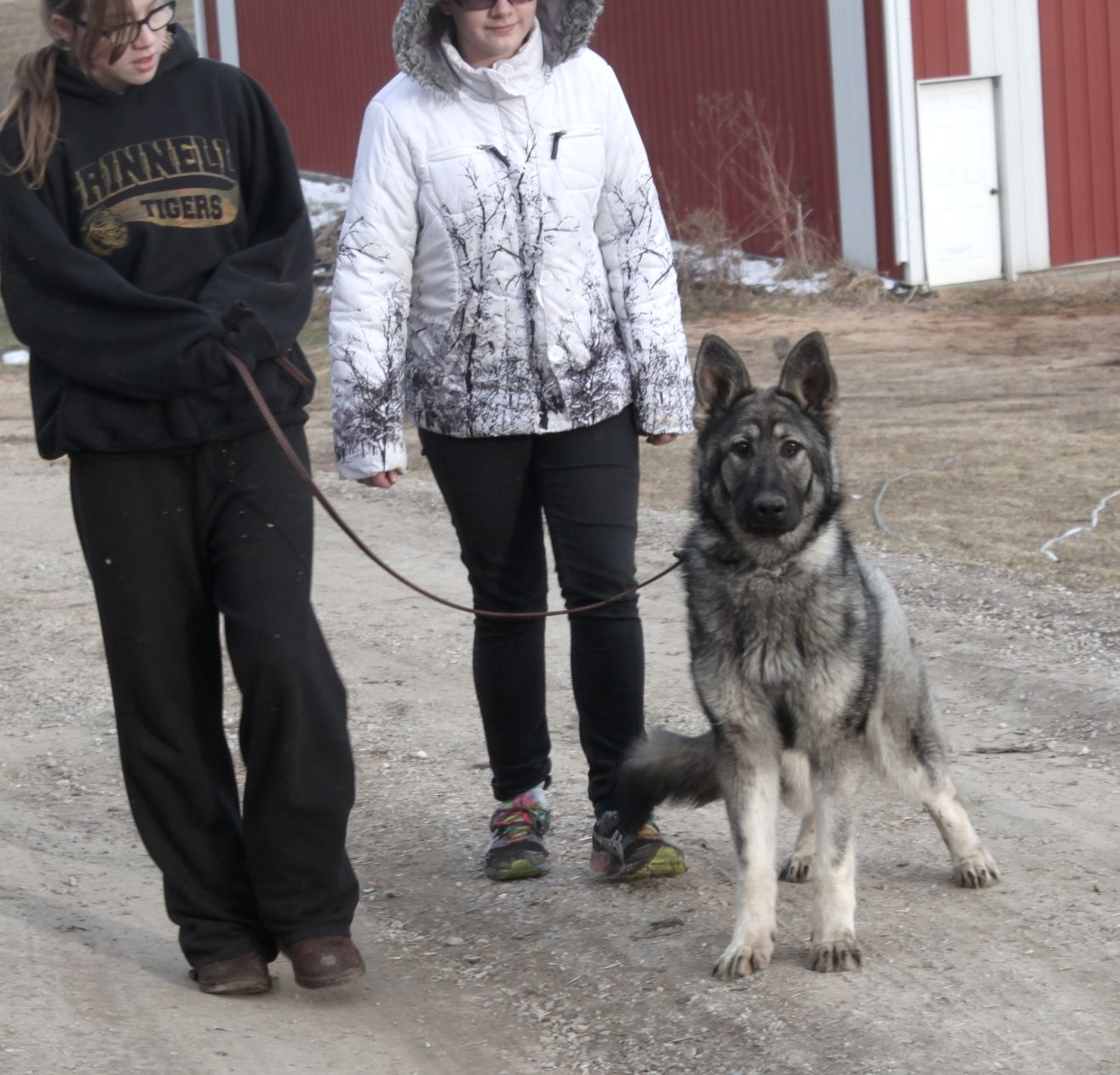 wolf silver sable german shepherds in iowa Silver sable