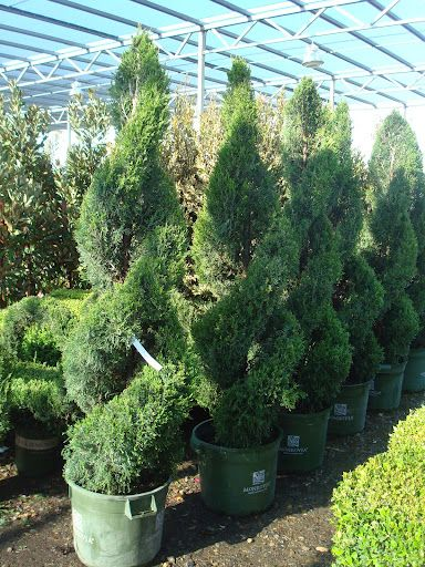 Spartan Double Spiral Junipers I Want One Of These On Either Side