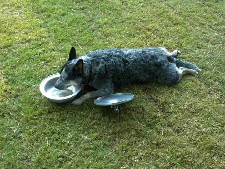 dog lays down to eat