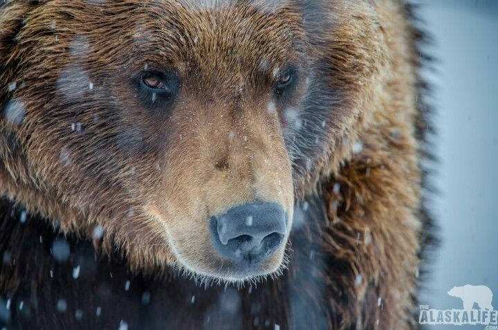 "Meet this Alaskan Brown Bear named ""Joe Boxer"""