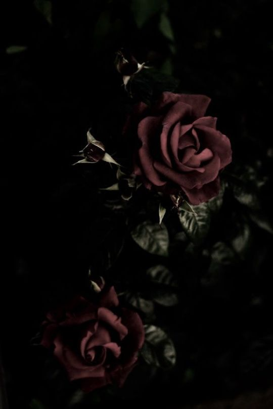Dark Rose In 2021 Gothic Wallpaper Rose Wallpaper Dark Flowers