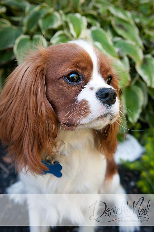 Cavalier King Charles Spaniel Cavalier King Charles Spaniel Blenheim Cavalier King Charles Spaniel Dog Photography