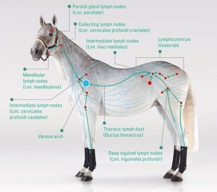 The horse\'s lymphatic system www.equicrown.com #horse #equine ...