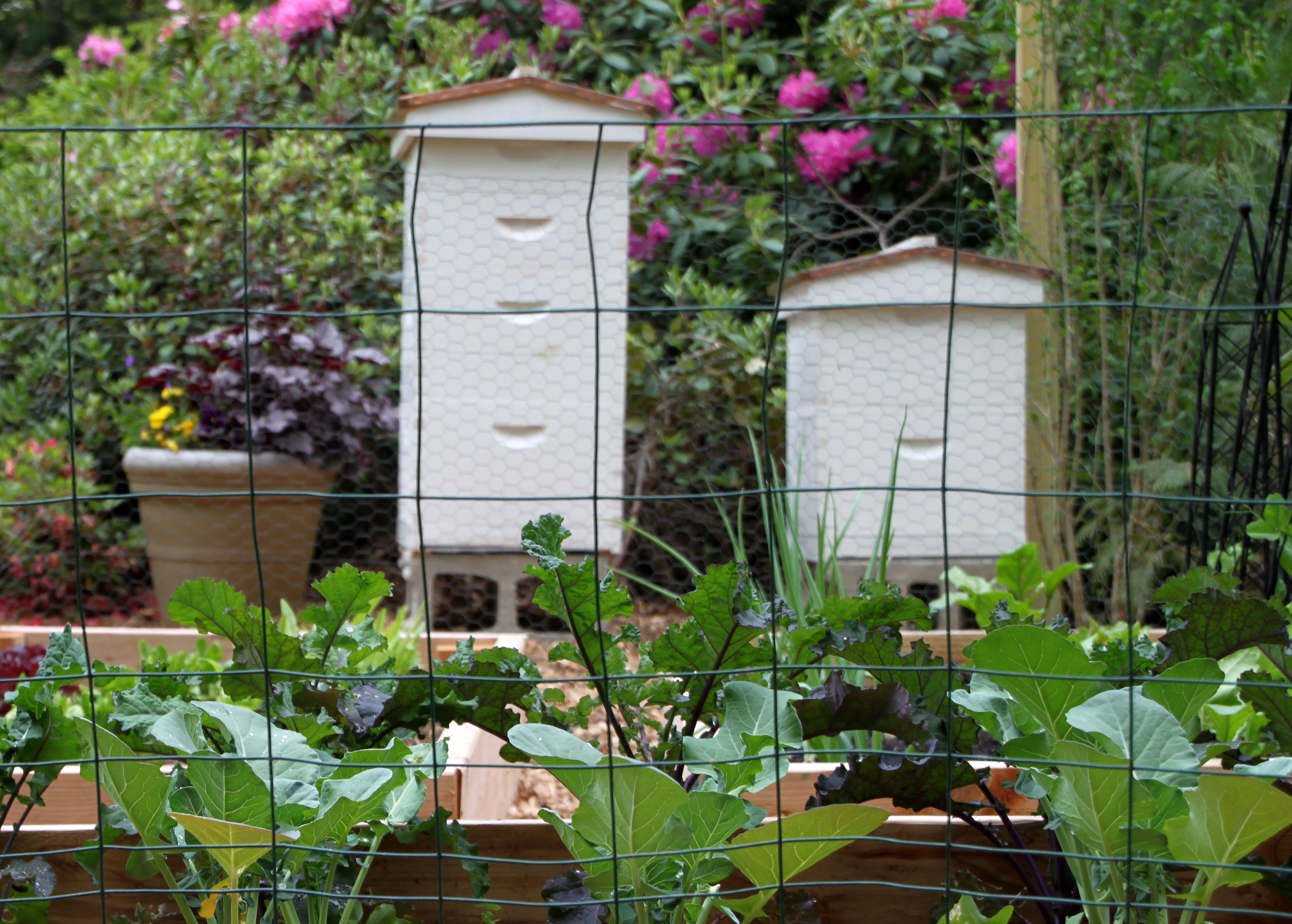 As beekeepers, there come times when we need to feed our bees or offer them up reserves to help them get through dearths and winter. New colonies should be fed so that they can quickly build out new comb for the queen to lay and for them to store their foraged pollen and nectar.  Existing …
