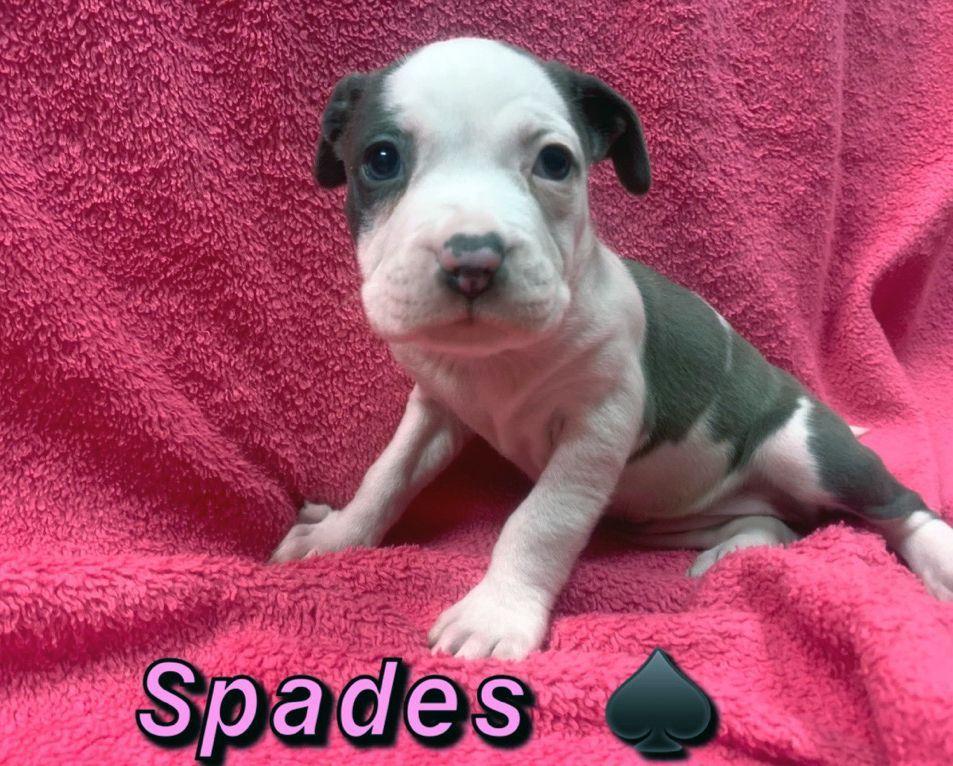 Adopt Spades on Petfinder Spades is an adoptable