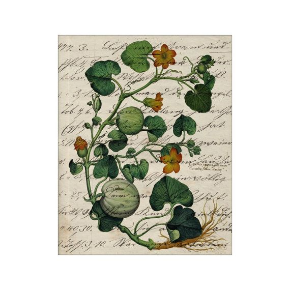 Squash X - Rustic Italian Garden - Art Prints - 8x10 Print - Vintage Style - French Country - Cottage Style