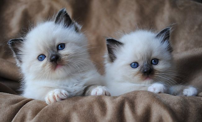 Kittens Are Wide Eyed Soft And Sweet With Needles In Their Jaws And Feet Pam Brown Kittens Cutest Ragdoll Cat Breeders Cat Breeds