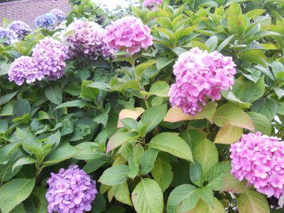 The Hydrangea A Popular English Garden Flower News Bubblews English Garden Flower Garden Growing Roses