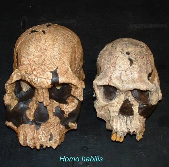 Homo habilis   Human Evolution   Pinterest   Homo habilis ...