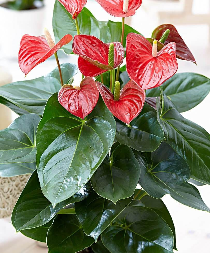 How To Grow Anthurium All You Need To Know Farmfoodfamily Anthurium Plant Anthurium Flower Tropical House Plants