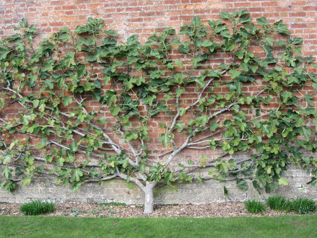 how to espalier an apple tree google search my garden wants