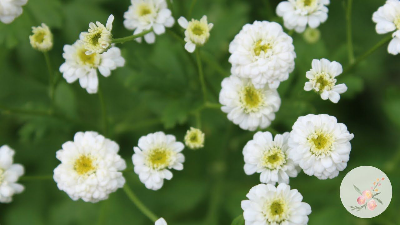 White Wonder Double Feverfew Growing Flowers From Seed Gardening For B Flower Seeds Growing Flowers Feverfew