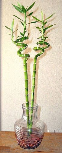 Grow Lucky Bamboo Inside U2013 Tips For Care Of Lucky Bamboo Plant