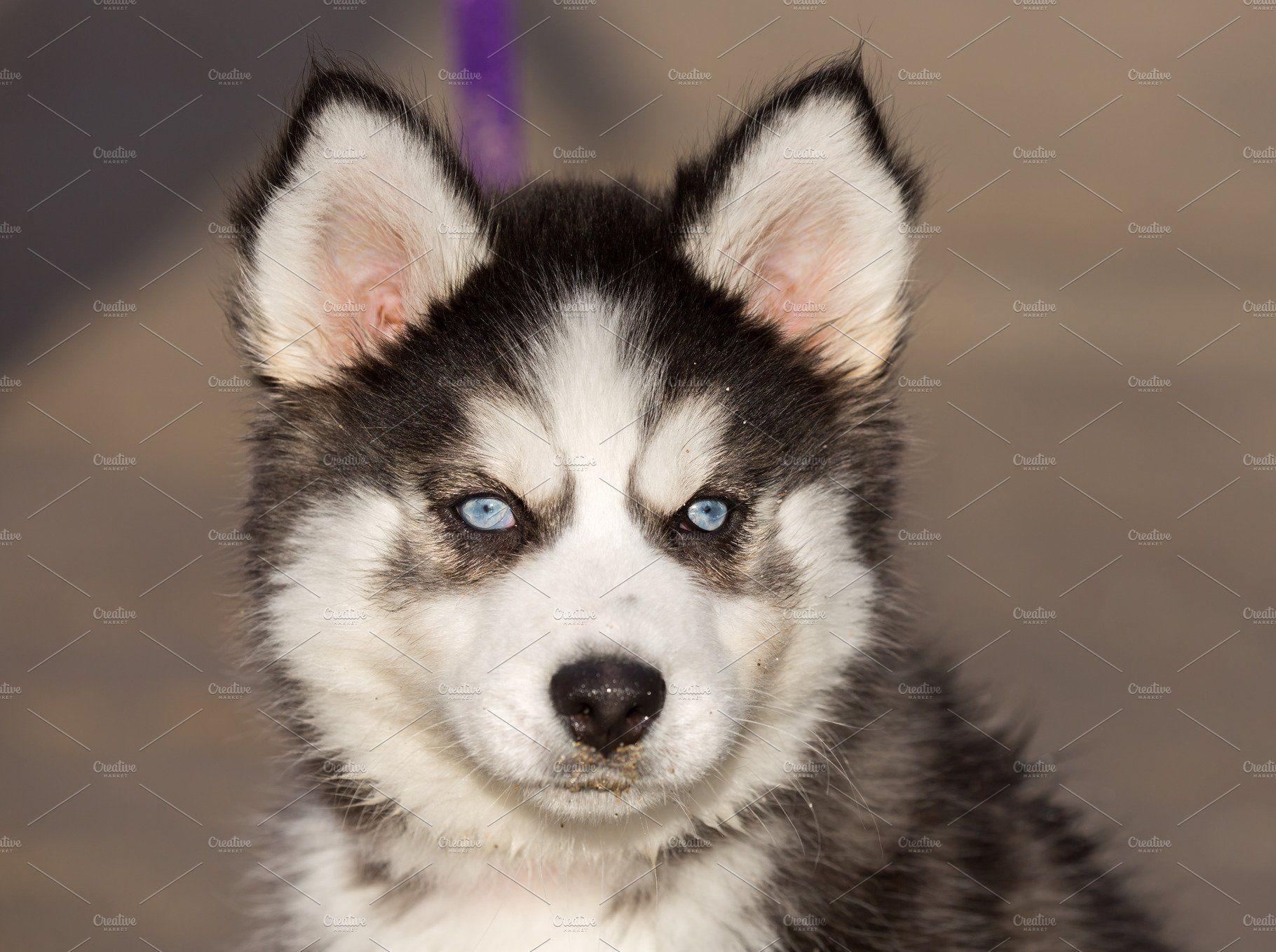 Blueeyed siberian husky puppy head by yuval helfman