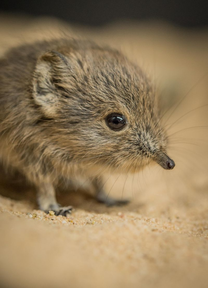 Tiny animal found in africa-1313