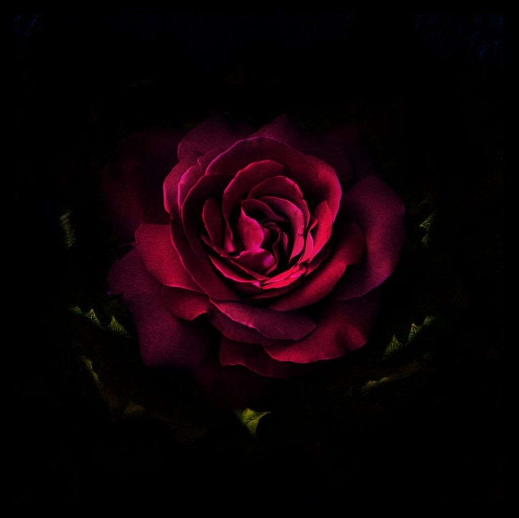 Rose Photography Red Flower Koyote Desktop Themes Iphone 6 Flower Wallpaper Flower Wallpaper Red Roses
