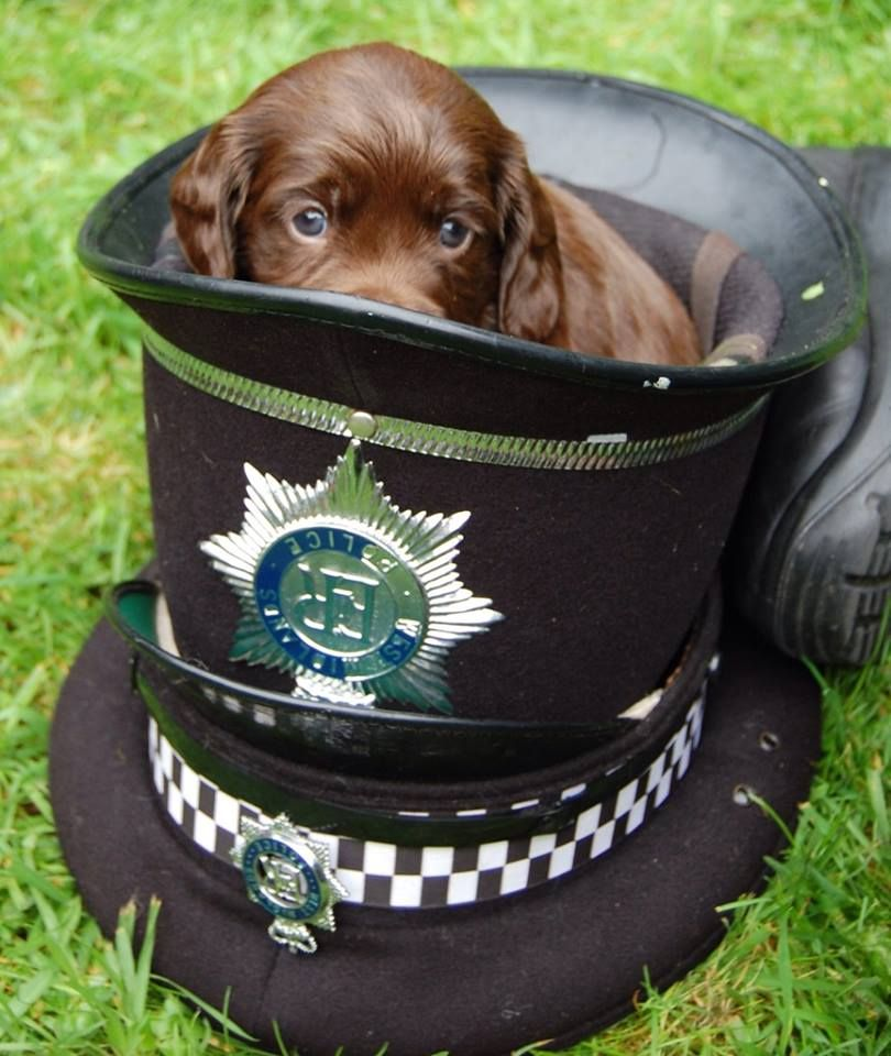 Keep Up With Police Puppy Ted In His Blog At Http Www Thehouseofdog Co Uk Welcome New Blogger Police Puppy Ted S Dog Friends Sprocker Spaniel Beautiful Puppy