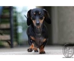Buy Dachshund Puppies In Mumbai Maharashtra India In Pet Animals