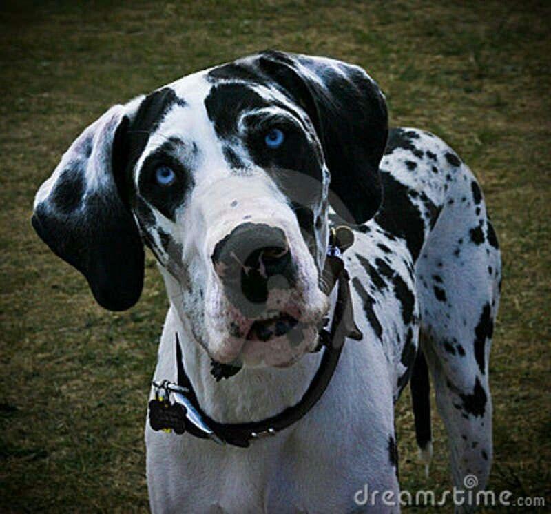 Great Dane Future Dog Definitely Great Dane