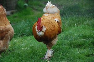 Six Buff Bantam Faverolle Hatching Eggs Pets