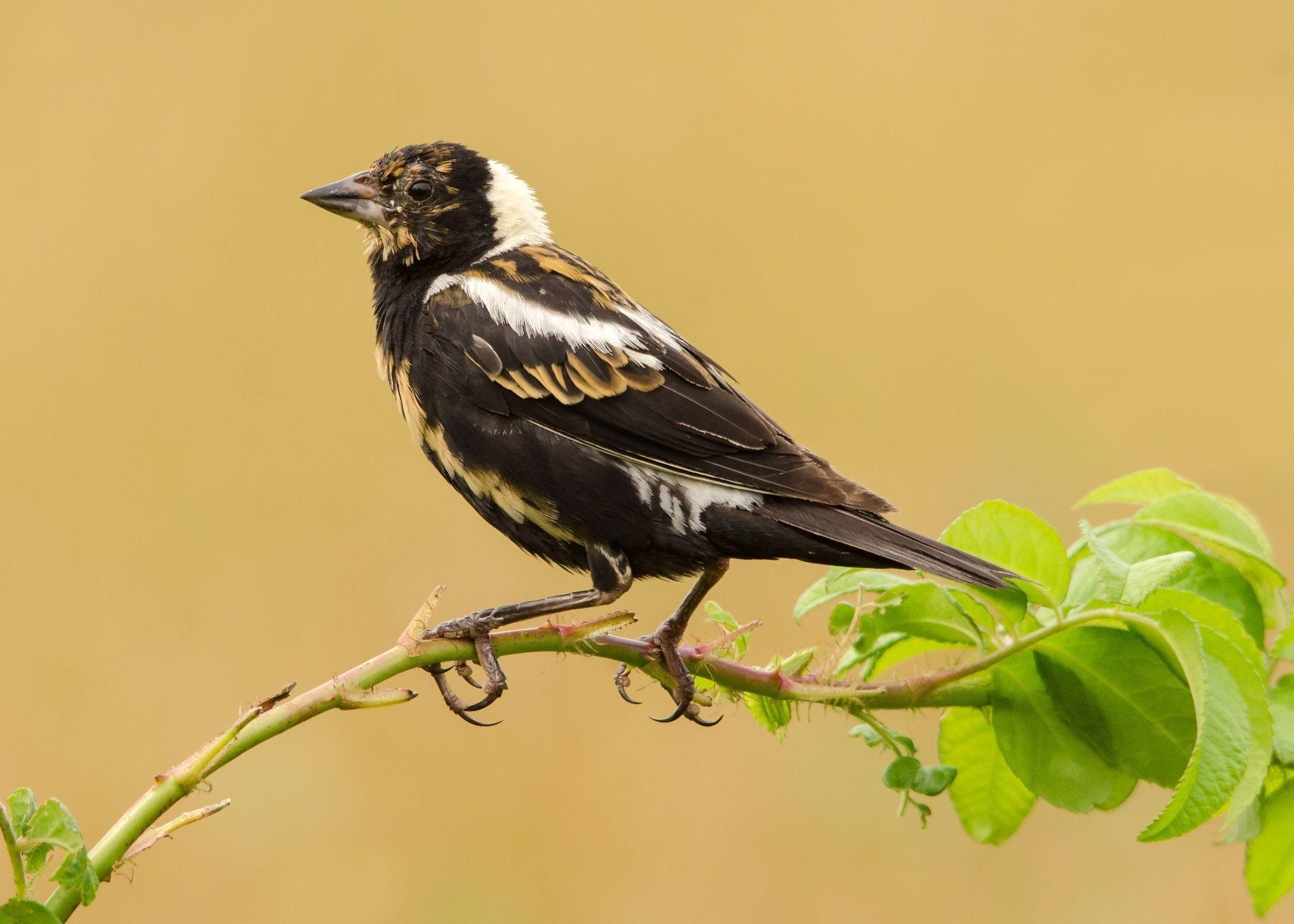 Bobolink By Peter Brannon On 500px Beautiful Birds Birds Bird