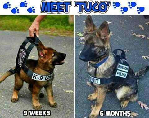 K9 Tuco Is Finally Growing Into His Uniform Service Dogs