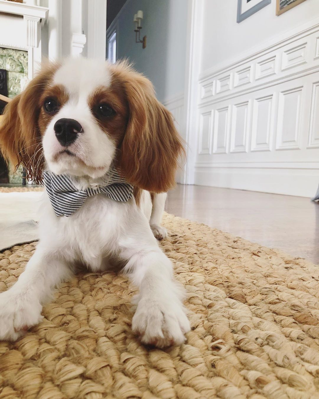"Cavalier King Charles Spaniel Puppy Cut : cavalier, charles, spaniel, puppy, Mister, Oliver, Instagram:, ""Feeling, Handsome, After, Little, Haircut, #puppies, #cavl…, Charles, Cavalier, Spaniel, Puppy,, Puppies"