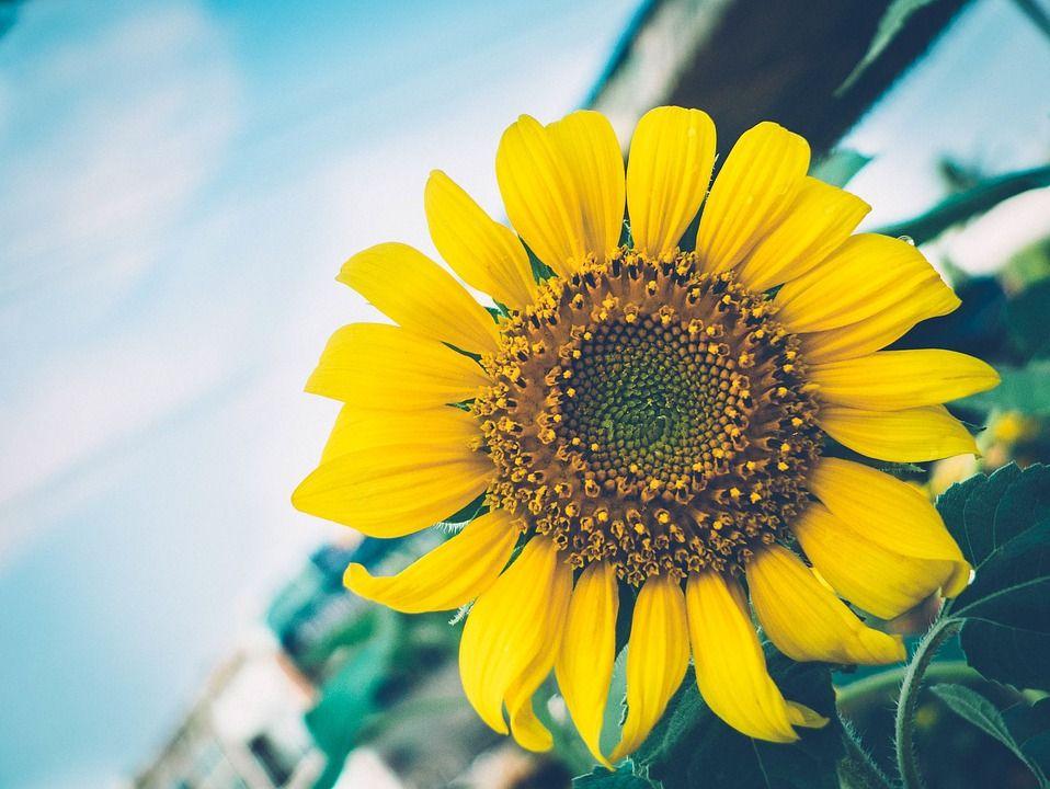 A Girl S Journey Phase One Solar Energy Sunflower Solar