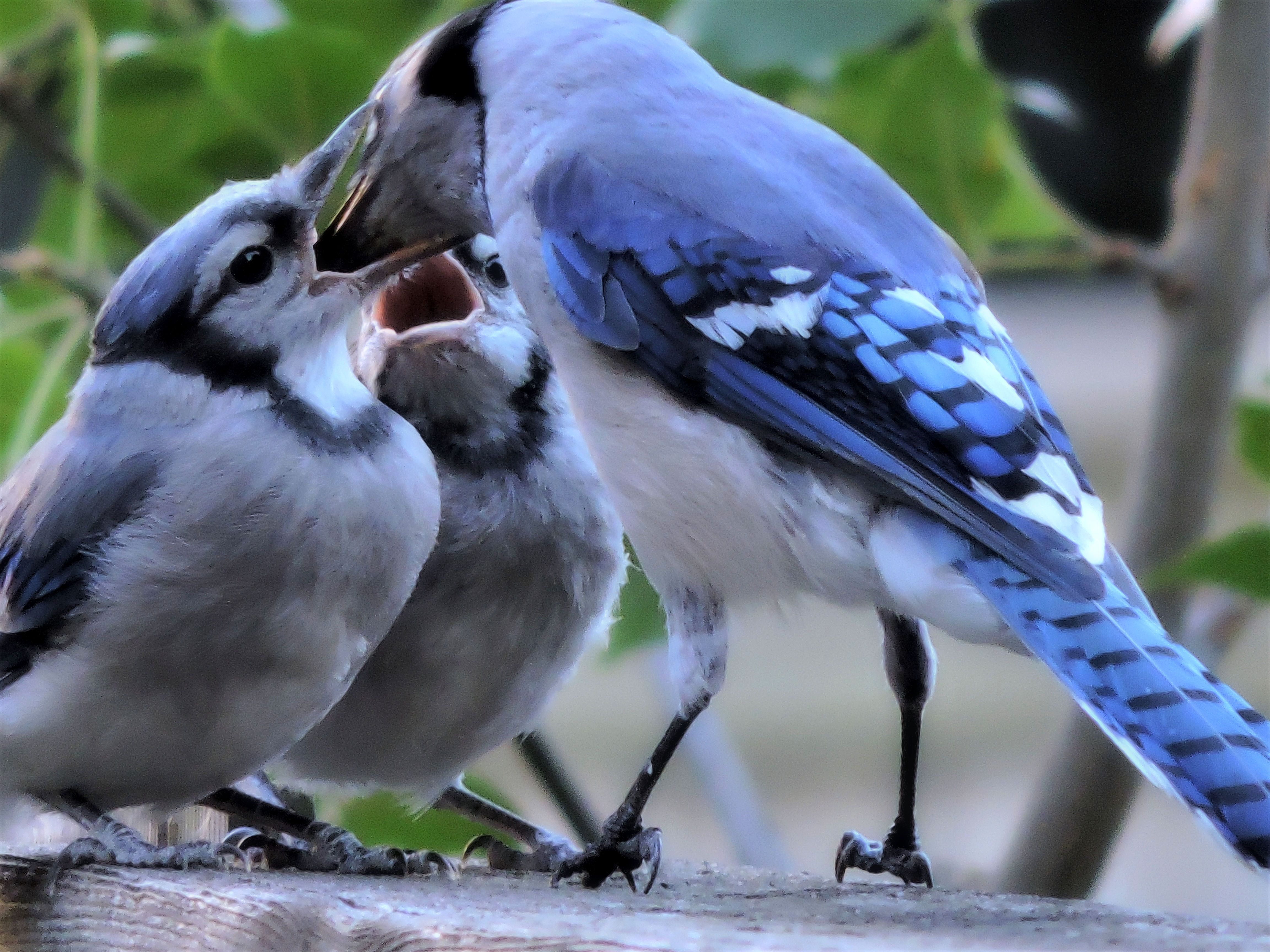 Feeding Frenzy Baby Blue Jays Were Waiting Not So Patiently