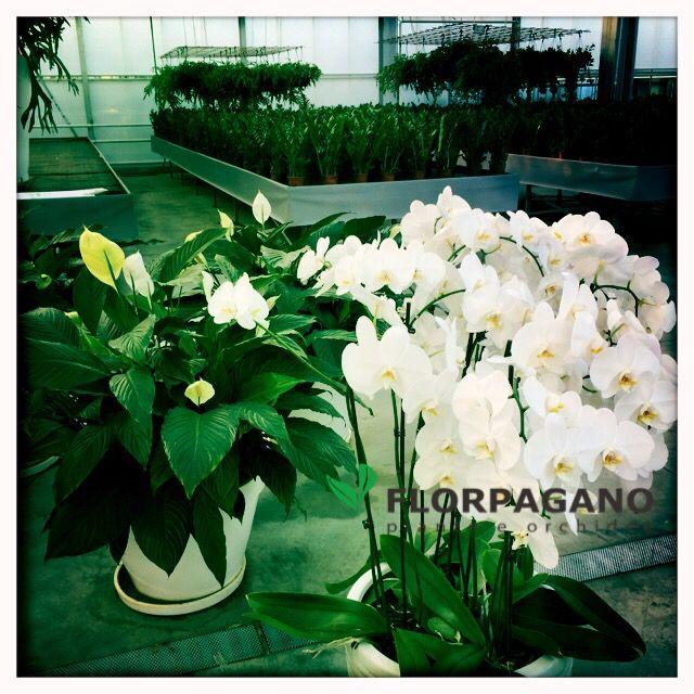 """Le nostre orchidee a chilometro zero. Si chiamano """"daddò"""", che in dialetto pugliese significa """"da qui"""". Le trovi in ogni misura e colore su www.florpagano.com (Ruvo di Puglia, Bari)"""