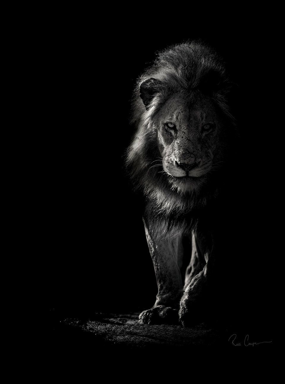 Ross Couper Photography Wildlife In Black And White Black And White Lion White Lion Lion Photography