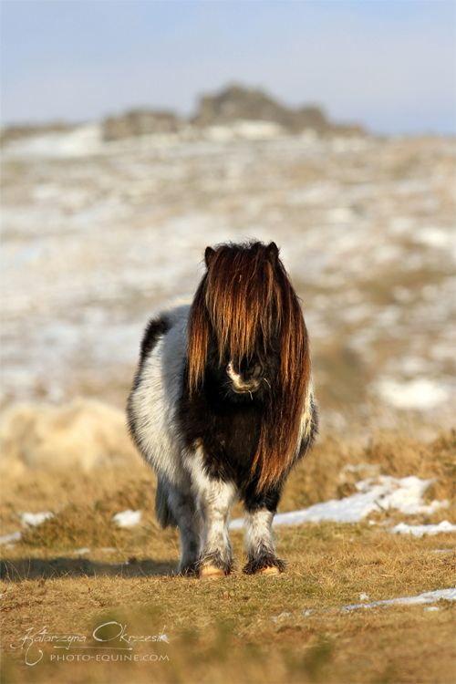 That's one fat, fuzzy Shetland Pony. Can he even see where he's ...