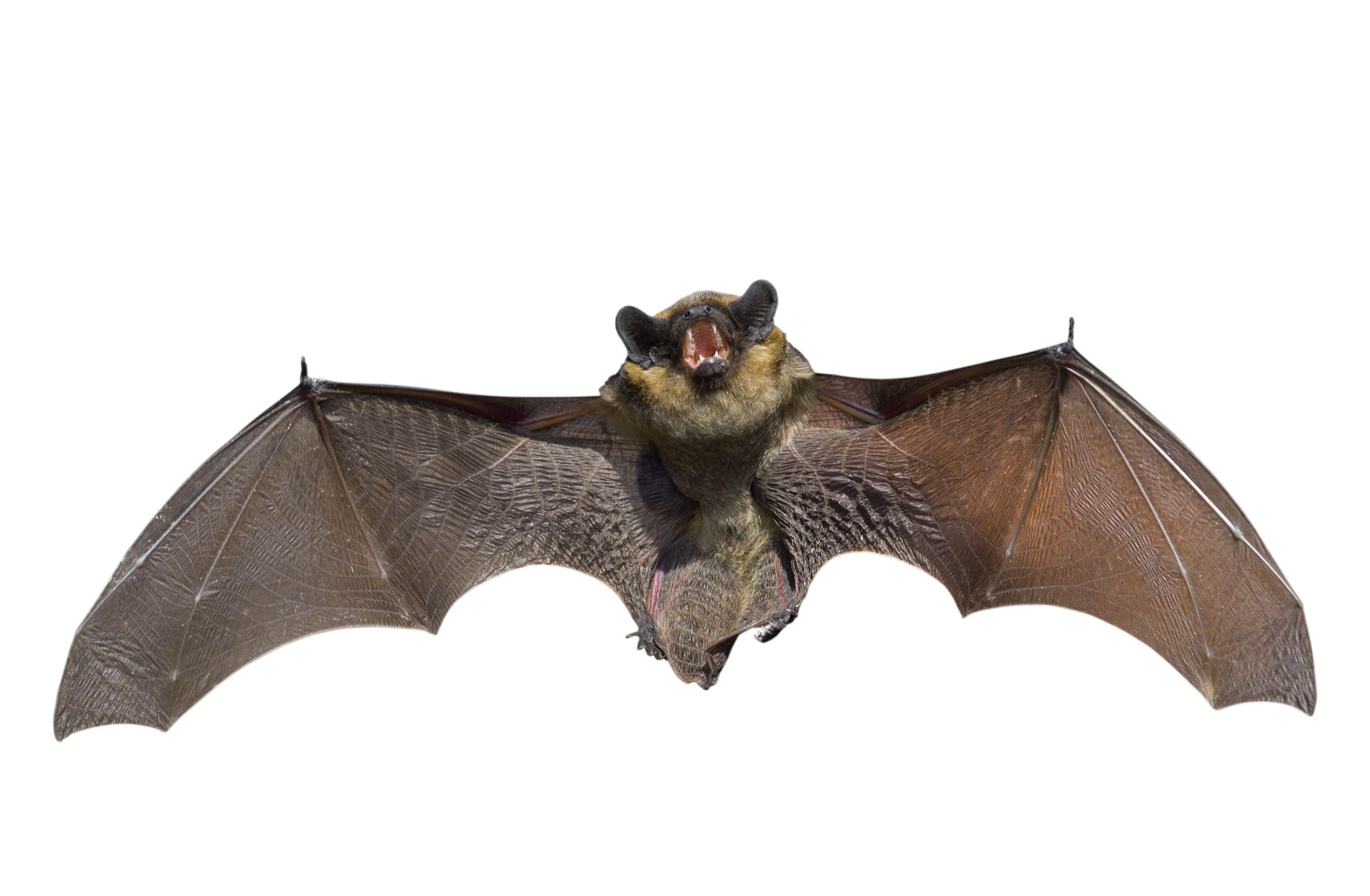 Steel Bat Animal Google Search Bats Cats Crows