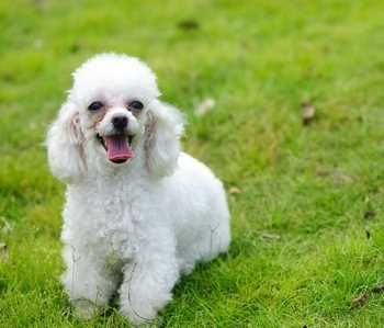 Non Shedding Small Dogs 2 Dog Breeds List All Small Dog Breeds