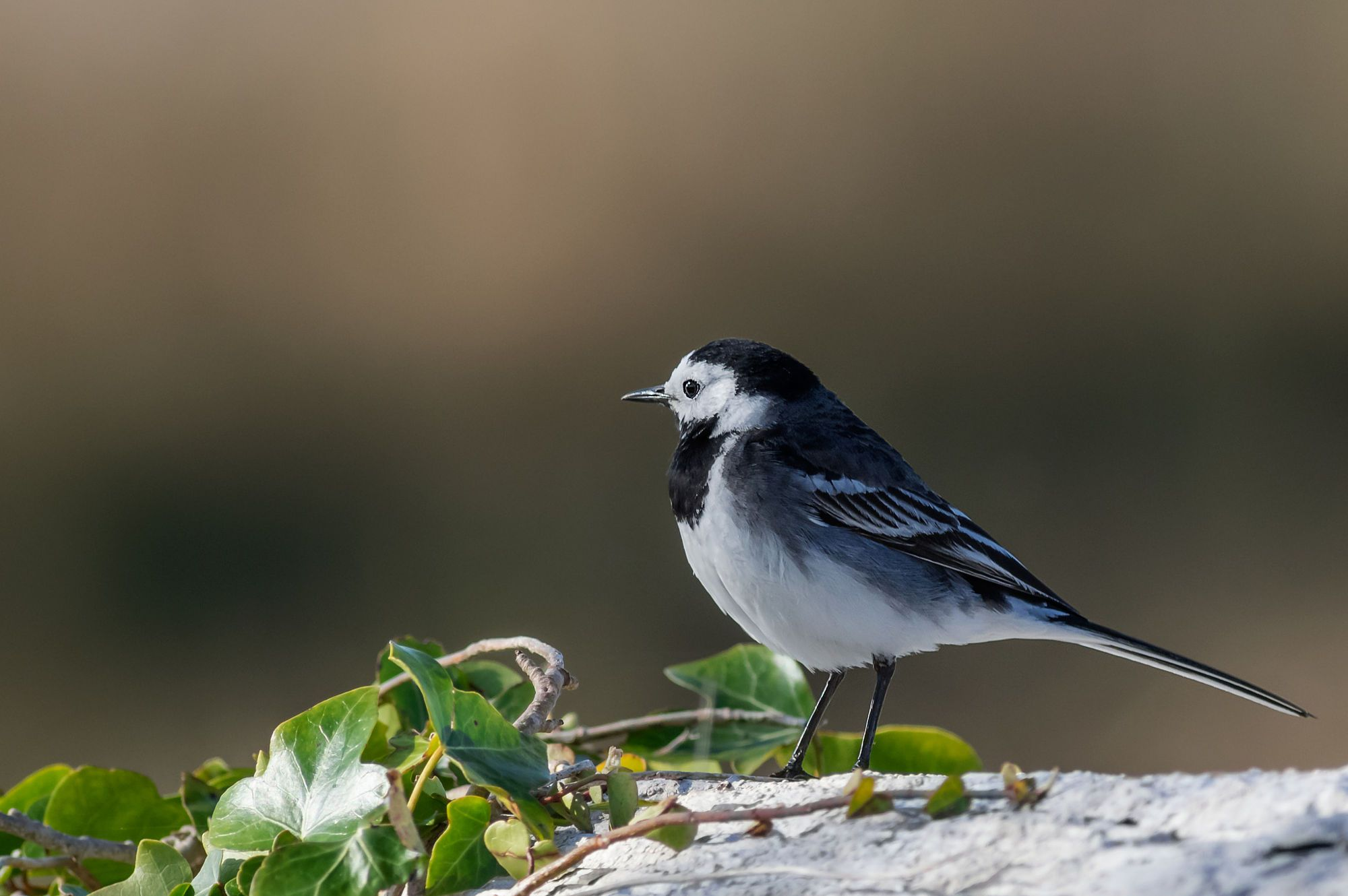 Pied Wagtail by Piotr Galus on 500px