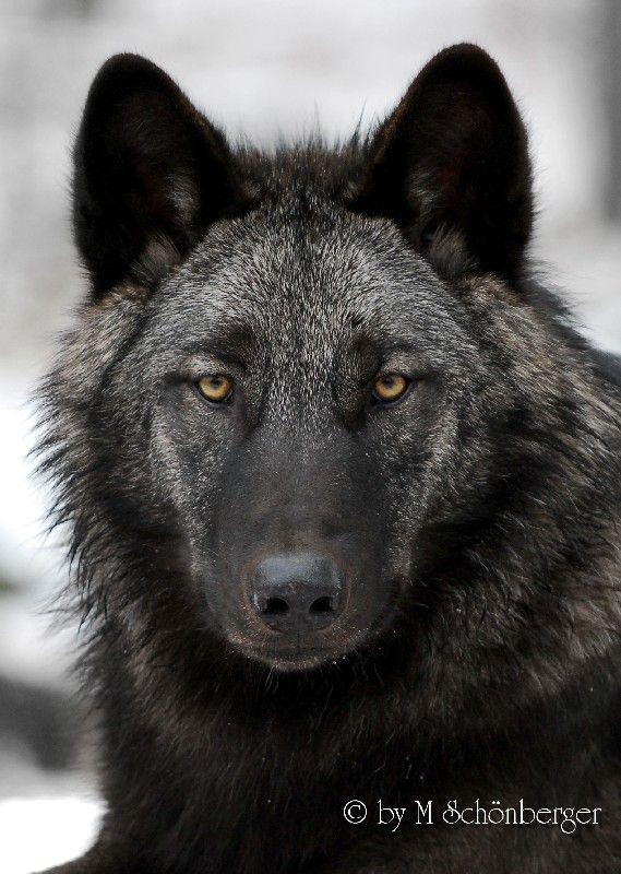 dark gray wolf Michael Schönberger Schoenberger