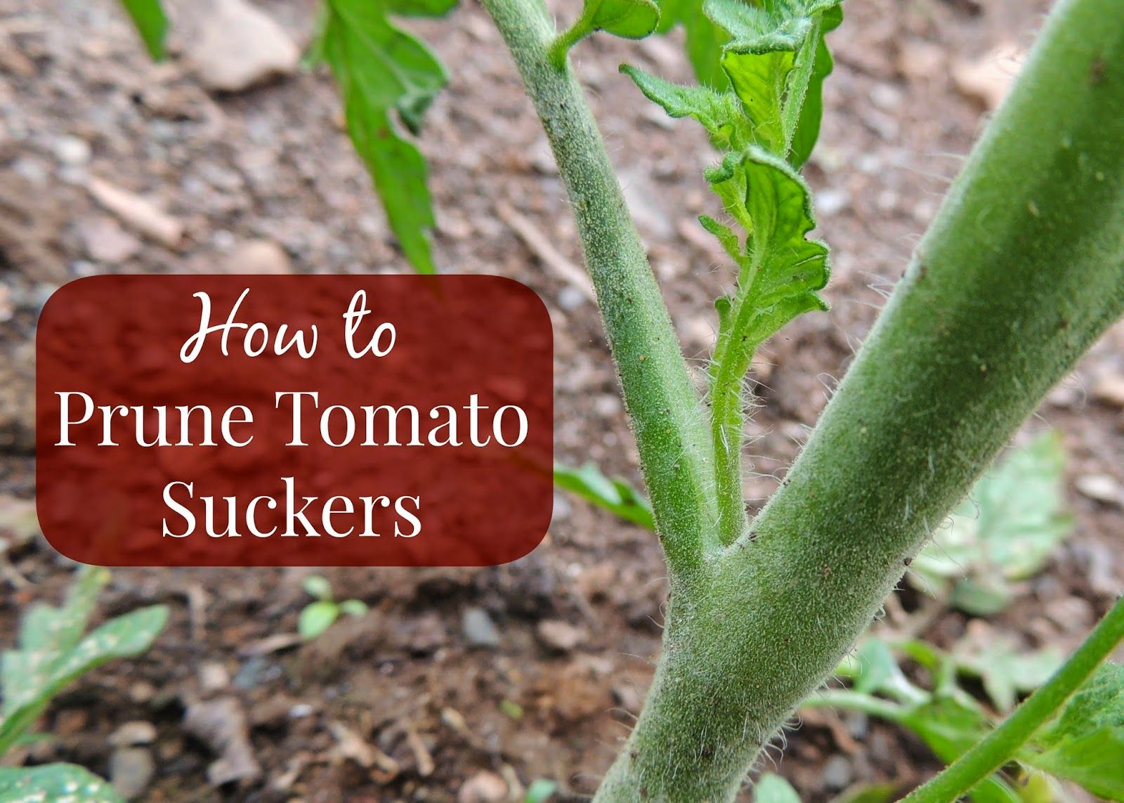 How To Root Tomato Suckers And Grow New Plants Huerta Prune Tomatoes Diagram Of Plant