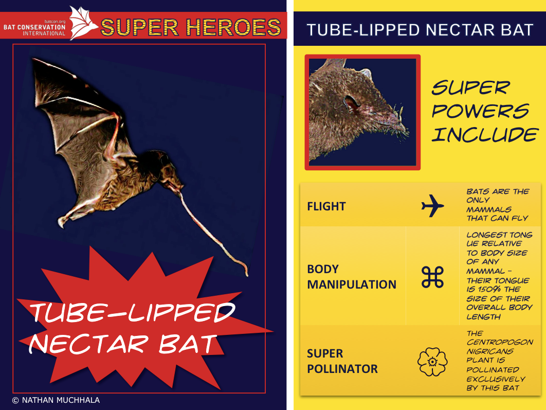 Unsung Heroes: The Amazing Superpowers of Bats!  Super Hero: Tube-lipped nectar bat Signature Super Power: Body Manipulation/Super Tongue  The Tube-lipped nectar bat (Anoura fistulata) has the longest tongue relative to it's body size of any mammal – their tongue is 150% the size of their overall body length!  Read more here: http://www.umsl.edu/~muchhalan/research.html And see more here: https://www.youtube.com/watch?v=clvXhAXRIfc