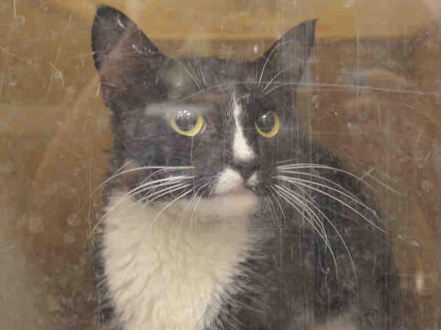 Sake A1046088 Cat Adoption Pets Animal Rescue