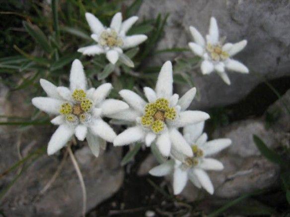 White Edelweiss Flower Bonsai Brave Sacred Perennial Seeds Home Garden 100 Pcs