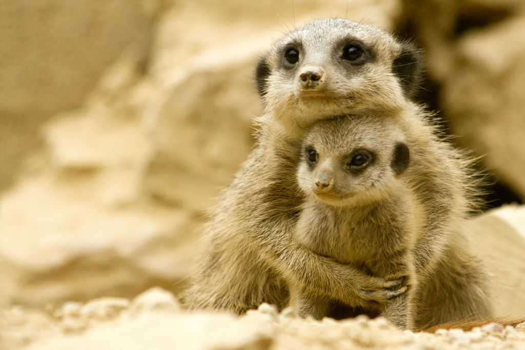 cuddling meerkats! maybe even cuter than sloths?